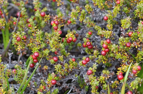 Empetrum rubrum, the red crowberry, growing in Patagonia