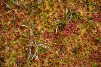 Dramatic colour changes on a Sphagnum 'carpet'
