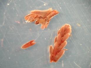 Calluna vulgaris leaves and stem