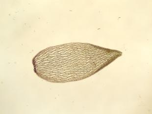 Sphagnum magellanicum leaf