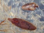 Vaccinium oxycoccus and Andromeda polifolia leaves