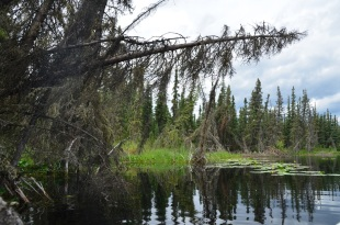 Trees and vegetation falling into the lake as permafrost melts.