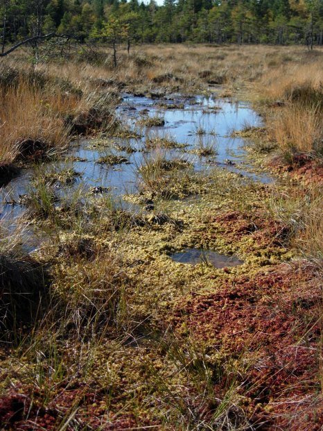 An example of the different bog landforms of pool (the puddle!), lawn (low-lying greenish moss) and hummock (higher reddish moss).