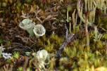 Cladonia (cup lichen) in Alaska (Photo: Kim Davies)