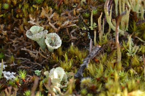 Cladonia (cup lichen) in Alaska (Photo: Kim Davies)