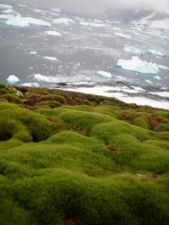 Moss growing on steep, snow free cliffs on Green Island, Antarctica [photo: J Royles]