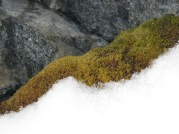 Moss emerging from under the snow on Janus Island (photo: J Royles)