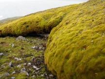 Moss forming 1.8 m deep banks on Signy Island (photo: J Royles)