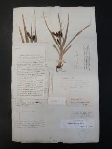 Carex patagonica, trifida or banksii...?!