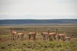 A herd of Guanaco