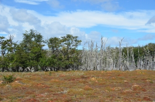 Nothofagus at the bog edge