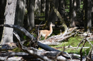 A guanaco lurking in the shadows