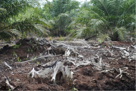 Swamp forest tree remains emerge from the peat as drainage in an oil palm plantation leads to peat wastage