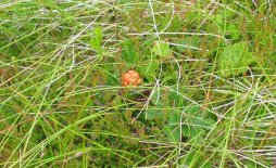 A cloudberry growing on a Scottish bog. Image credit: Richard Webb via Wikimendia Commons