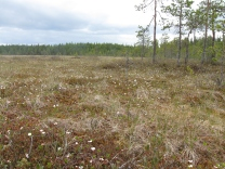 A Finnish bog covered in cloudberry flowers, a good harvest awaits! Image credit: SeppVei via Wikimedia Commons