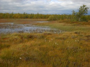 Cottongrass growing at the edge of an arctic fen in Abisko.